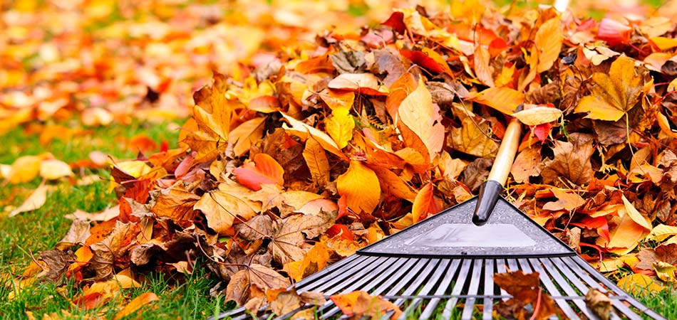 Rake clearing beautiful golden fall leaves in Ada, MI.
